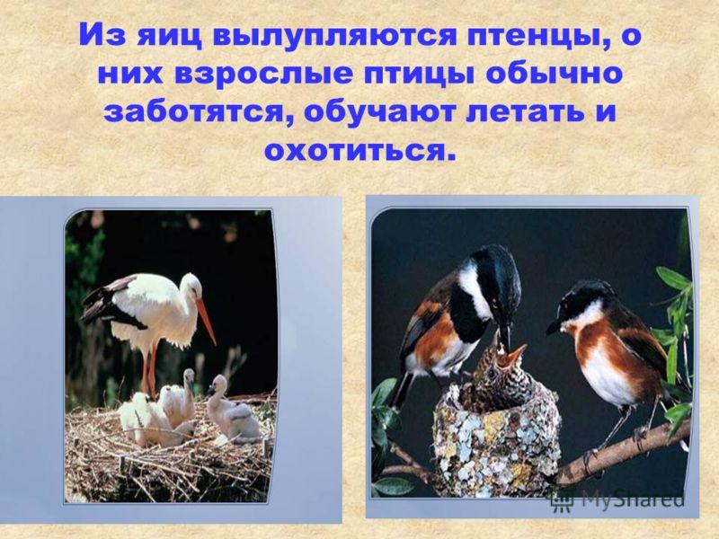 Самки откладывают яйца в гнездо и начинают их согревать – насиживать. начинают их согревать – насиживать.