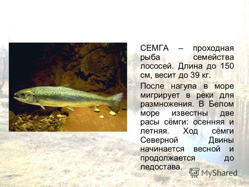 СЕМГА – проходная рыба семейства лососей. Длина до 150 см, весит до 39 кг. После нагула в море мигрирует в реки для размножения. В Белом море известны две расы сёмги: осенняя и летняя. Ход сёмги Северной Двины начинается весной и продолжается до ледо