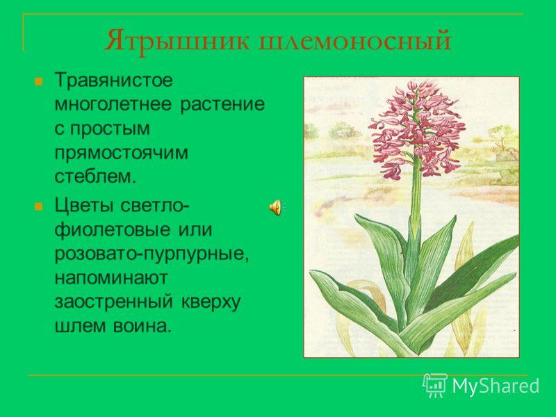 Ятрышник шлемоносный Травянистое многолетнее растение с простым прямостоячим стеблем. Цветы светло- фиолетовые или розовато-пурпурные, напоминают заостренный кверху шлем воина.