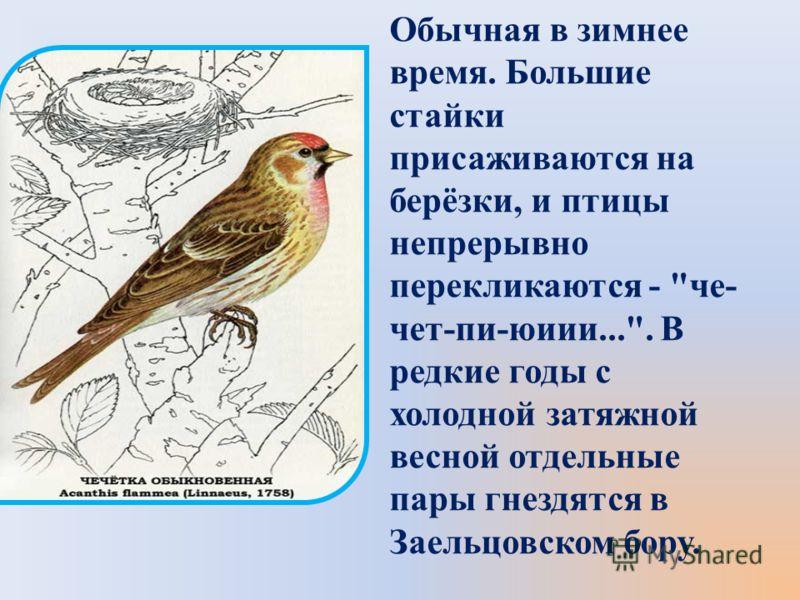 Обычная в зимнее время. Большие стайки присаживаются на берёзки, и птицы непрерывно перекликаются - че- чет-пи-юиии.... В редкие годы с холодной затяжной весной отдельные пары гнездятся в Заельцовском бору.
