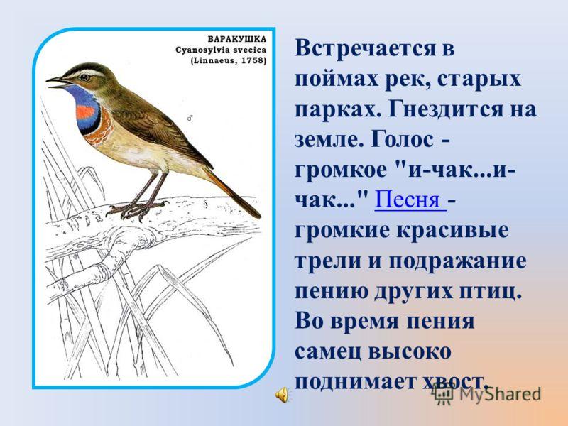 Встречается в поймах рек, старых парках. Гнездится на земле. Голос - громкое и-чак...и- чак... Песня - громкие красивые трели и подражание пению других птиц. Во время пения самец высоко поднимает хвост.Песня