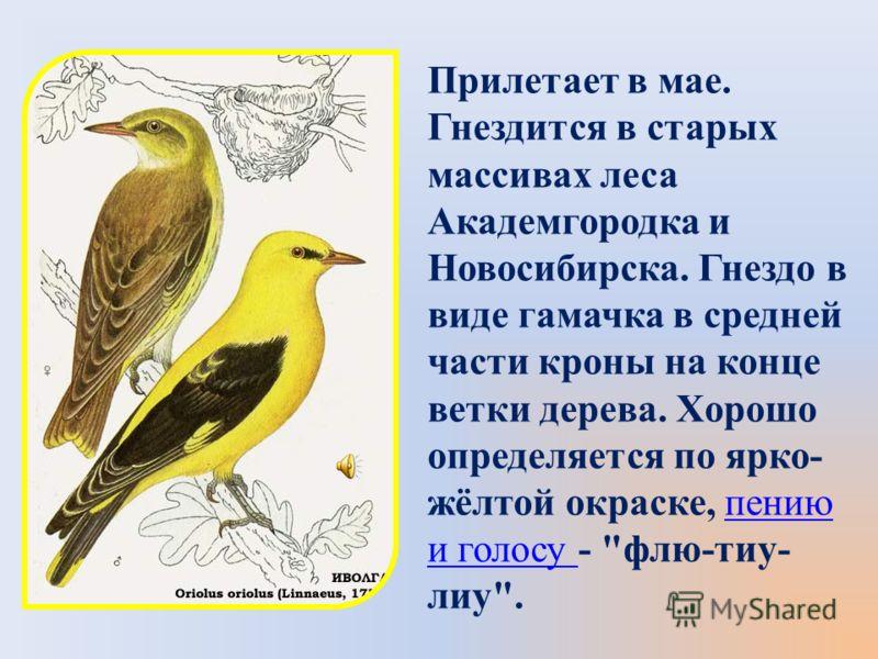 Прилетает в мае. Гнездится в старых массивах леса Академгородка и Новосибирска. Гнездо в виде гамачка в средней части кроны на конце ветки дерева. Хорошо определяется по ярко- жёлтой окраске, пению и голосу - флю-тиу- лиу.пению и голосу