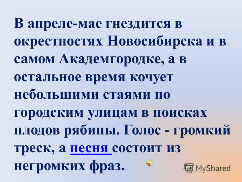 В апреле-мае гнездится в окрестностях Новосибирска и в самом Академгородке, а в остальное время кочует небольшими стаями по городским улицам в поисках плодов рябины. Голос - громкий треск, а песня состоит из негромких фраз.песня