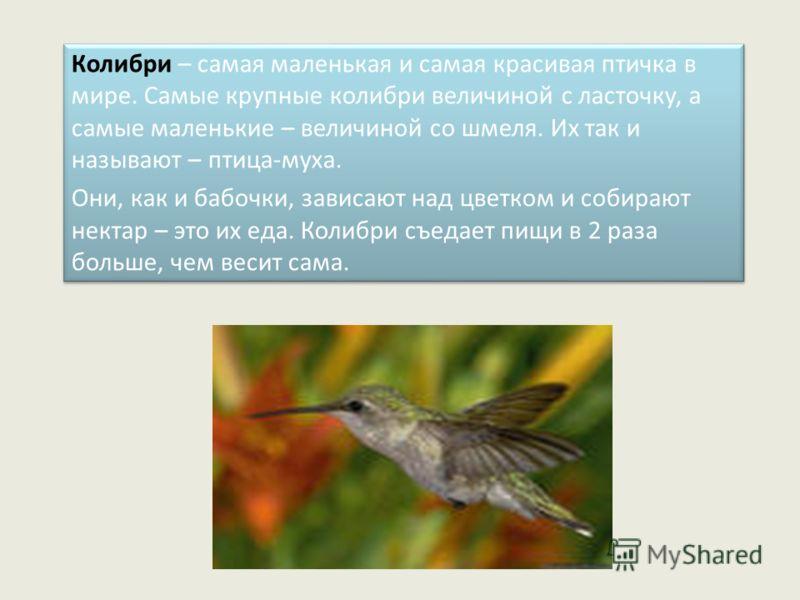 Колибри – самая маленькая и самая красивая птичка в мире. Самые крупные колибри величиной с ласточку, а самые маленькие – величиной со шмеля. Их так и называют – птица-муха. Они, как и бабочки, зависают над цветком и собирают нектар – это их еда. Кол