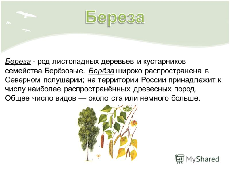 Береза - род листопадных деревьев и кустарников семейства Берёзовые. Берёза широко распространена в Северном полушарии; на территории России принадлежит к числу наиболее распространённых древесных пород. Общее число видов около ста или немного больше