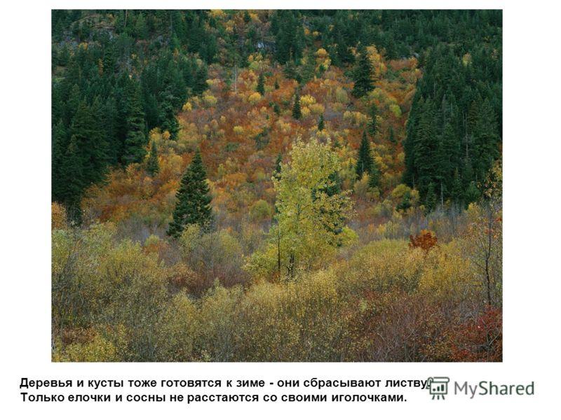 Деревья и кусты тоже готовятся к зиме - они сбрасывают листву. Только елочки и сосны не расстаются со своими иголочками.