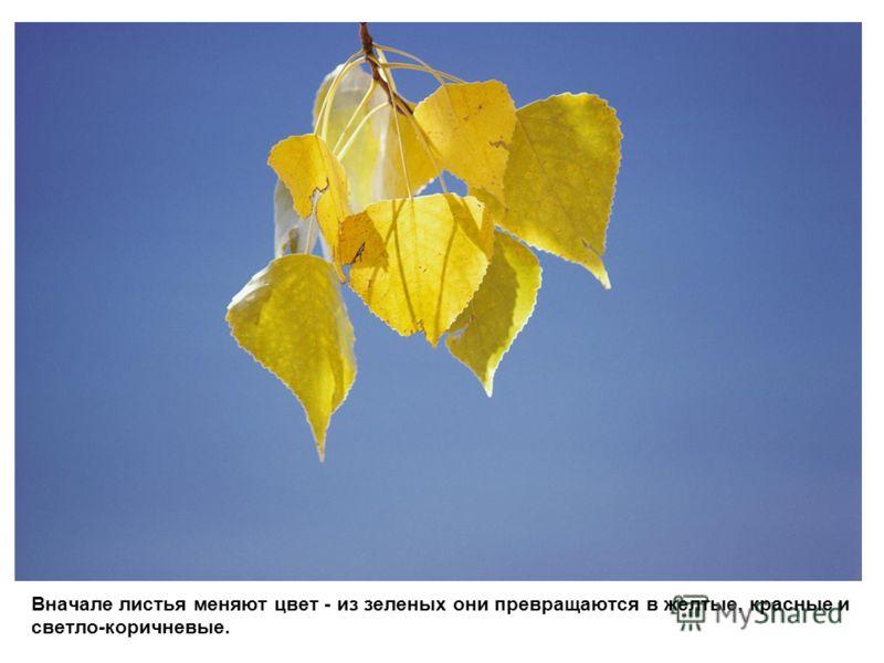 Вначале листья меняют цвет - из зеленых они превращаются в желтые, красные и светло-коричневые.