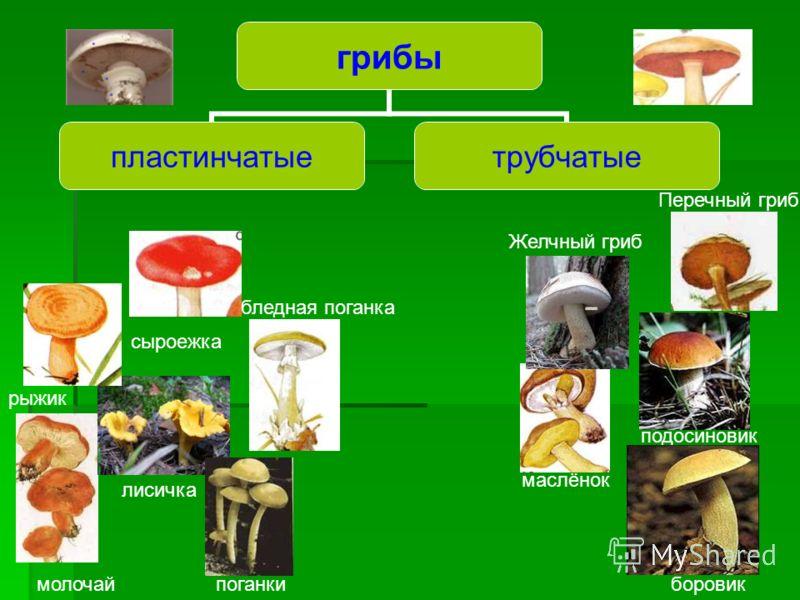 Размножение грибов половоебесполое Размножение спорами