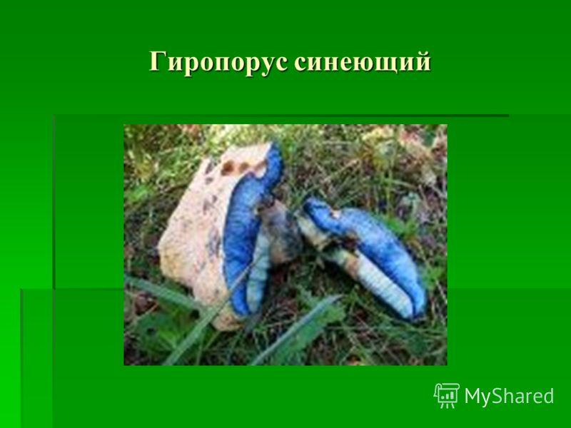 Гиропорус каштановый
