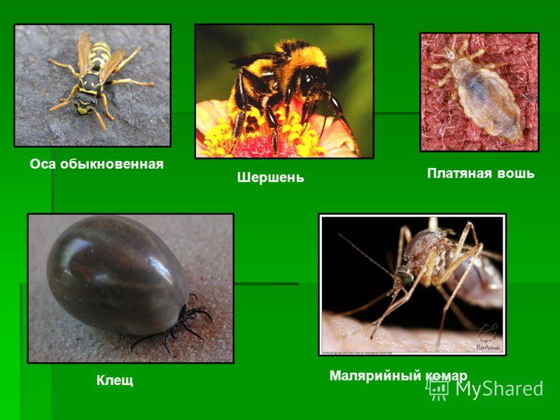 Оса обыкновенная Шершень Клещ Малярийный комар Платяная вошь