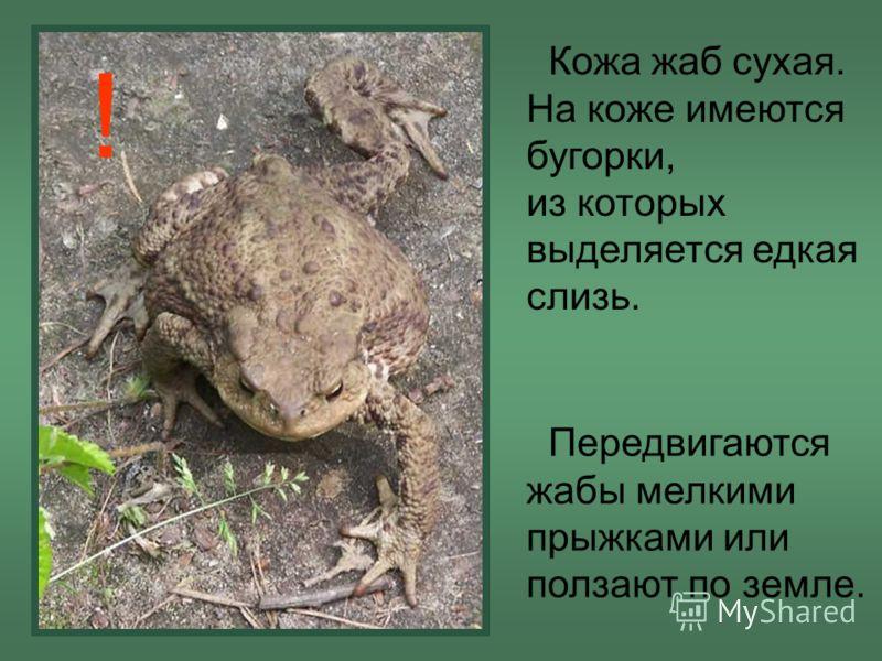 Кожа жаб сухая. На коже имеются бугорки, из которых выделяется едкая слизь. Передвигаются жабы мелкими прыжками или ползают по земле. !