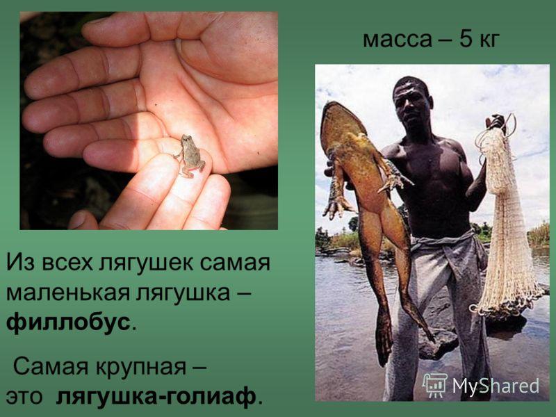 Из всех лягушек самая маленькая лягушка – филлобус. Самая крупная – это лягушка-голиаф. масса – 5 кг