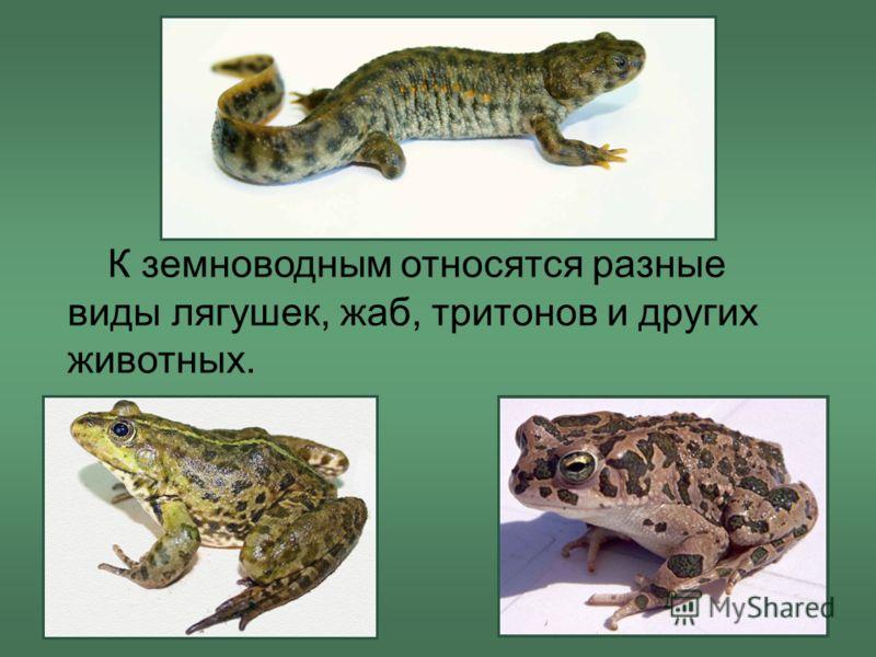 К земноводным относятся разные виды лягушек, жаб, тритонов и других животных.