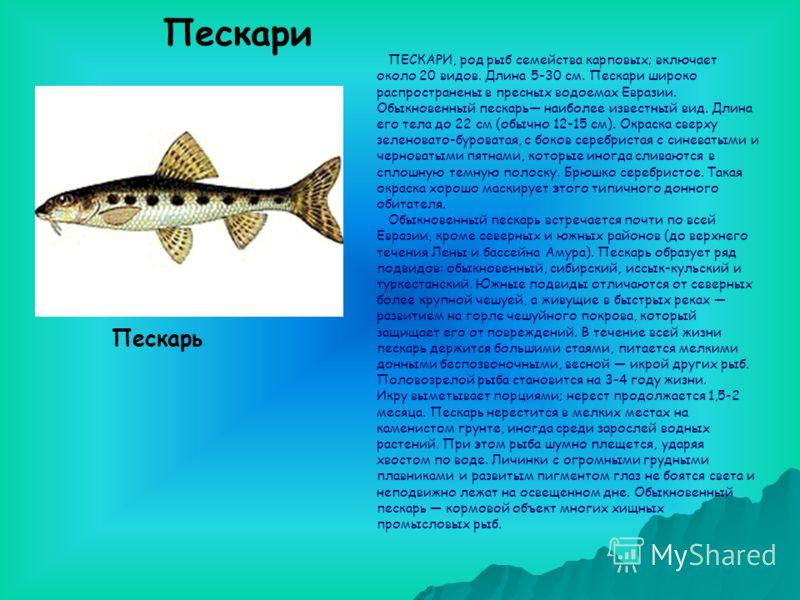 ПЕСКАРИ, род рыб семейства карповых; включает около 20 видов. Длина 5-30 см. Пескари широко распространены в пресных водоемах Евразии. Обыкновенный пескарь наиболее известный вид. Длина его тела до 22 см (обычно 12-15 см). Окраска сверху зеленовато-б