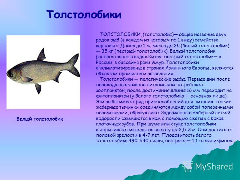 ТОЛСТОЛОБИКИ, (толстолобы) общее название двух родов рыб (в каждом из которых по 1 виду) семейства карповых. Длина до 1 м, масса до 25 (белый толстолобик) 35 кг (пестрый толстолобик). Белый толстолобик распространен в водах Китая; пестрый толстолобик