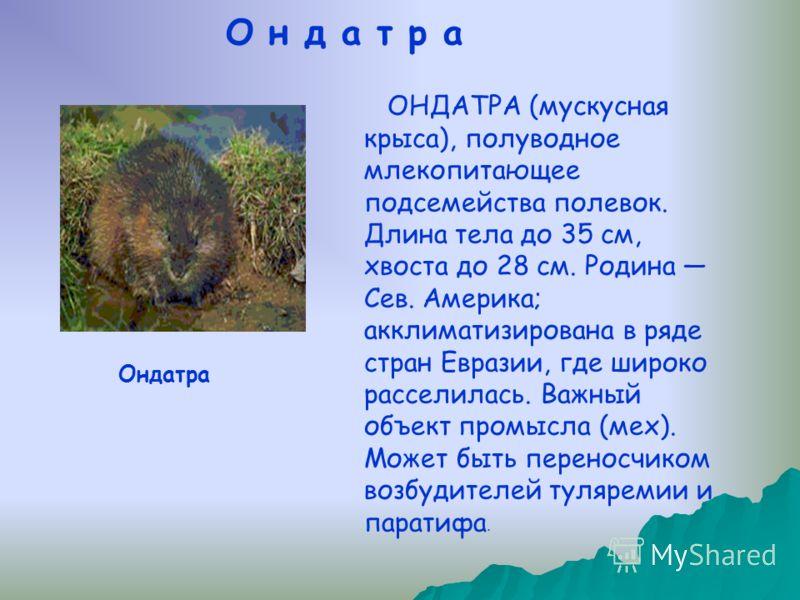 ОНДАТРА (мускусная крыса), полуводное млекопитающее подсемейства полевок. Длина тела до 35 см, хвоста до 28 см. Родина Сев. Америка; акклиматизирована в ряде стран Евразии, где широко расселилась. Важный объект промысла (мех). Может быть переносчиком