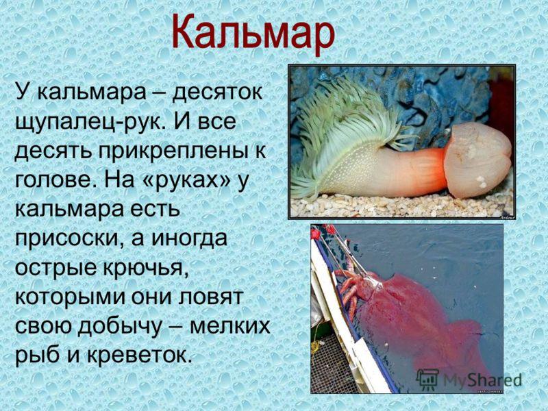 У кальмара – десяток щупалец-рук. И все десять прикреплены к голове. На «руках» у кальмара есть присоски, а иногда острые крючья, которыми они ловят свою добычу – мелких рыб и креветок.