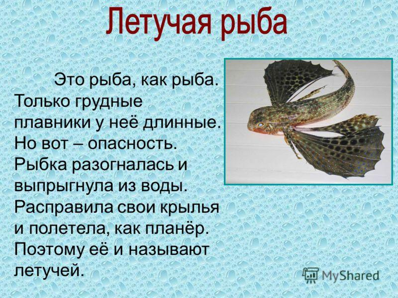 Это рыба, как рыба. Только грудные плавники у неё длинные. Но вот – опасность. Рыбка разогналась и выпрыгнула из воды. Расправила свои крылья и полетела, как планёр. Поэтому её и называют летучей.