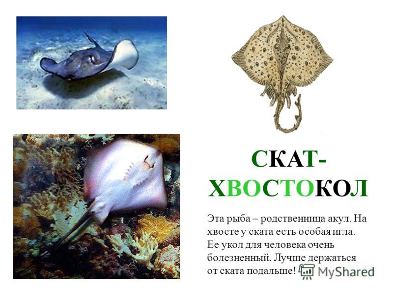 МОРСКОЙ ЁРШ (СКОРПЕНА) Эта рыбка похожа на ёжике, такая она колючая. Живет на дне моря среди камней и водорослей.