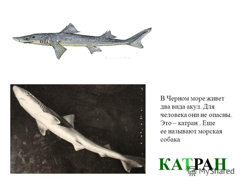 СКАТ- ХВОСТОКОЛ Эта рыба – родственница акул. На хвосте у ската есть особая игла. Ее укол для человека очень болезненный. Лучше держаться от ската подальше!
