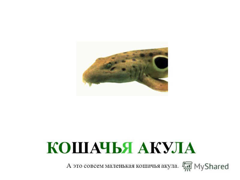 КАТРАН В Черном море живет два вида акул. Для человека они не опасны. Это – катран. Еще ее называют морская собака