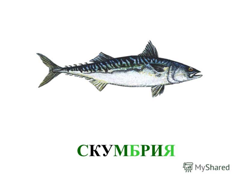СЕЛЬДЬ В море живет очень много разных рыб. Давай познакомимся с ними. Это - сельдь.