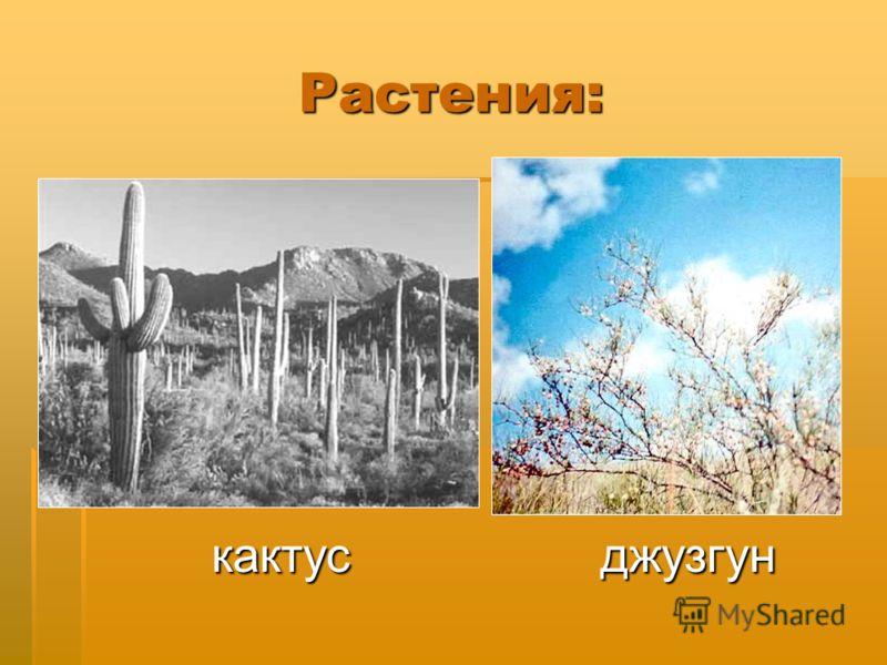 Растения: кактус джузгун кактус джузгун