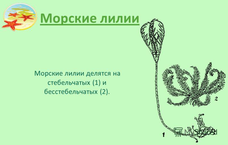 Морские лилии Морские лилии делятся на стебельчатых (1) и бесстебельчатых (2).