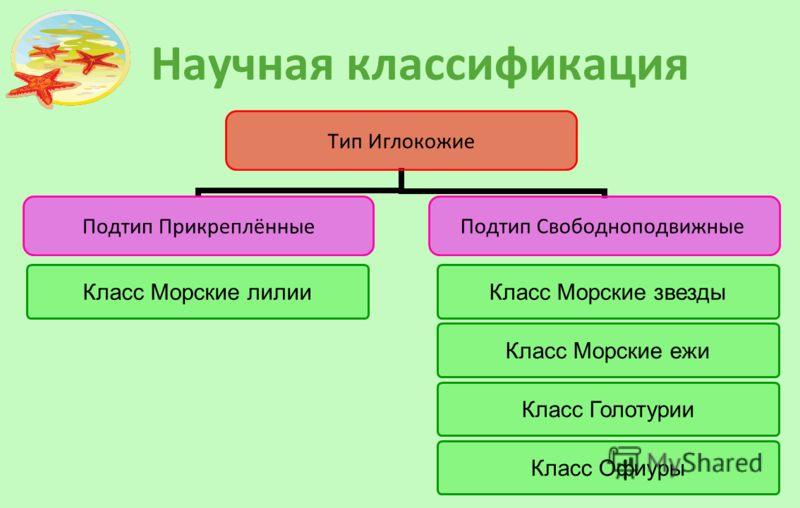 Научная классификация Тип Иглокожие Подтип Прикреплённые Подтип Свободноподвижные Класс Морские звездыКласс Морские лилии Класс Морские ежи Класс Голотурии Класс Офиуры