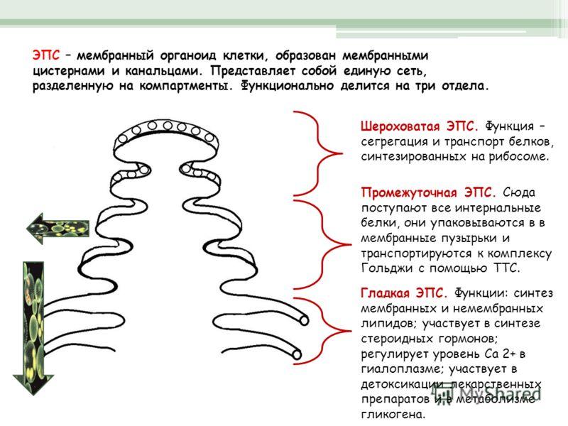 ЭПС – мембранный органоид клетки, образован мембранными цистернами и канальцами. Представляет собой единую сеть, разделенную на компартменты. Функционально делится на три отдела. Шероховатая ЭПС. Функция – сегрегация и транспорт белков, синтезированн