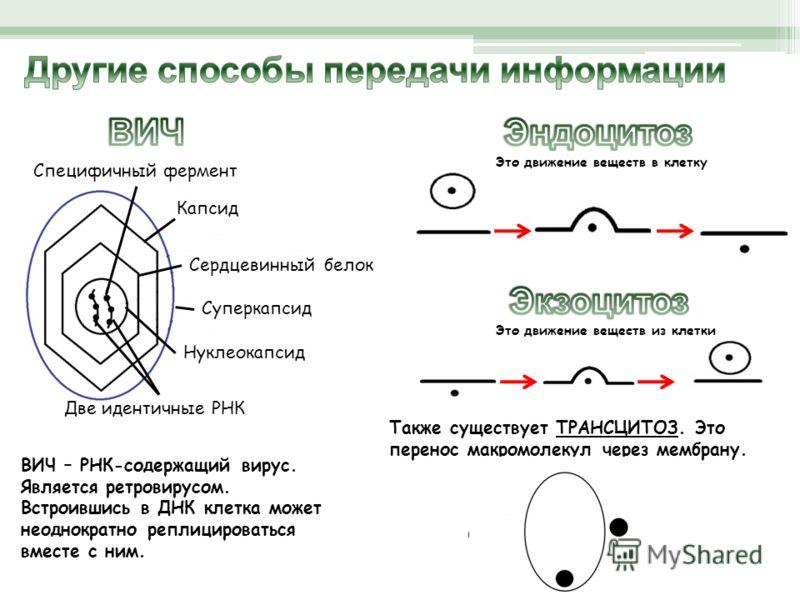 Капсид Сердцевинный белок Две идентичные РНК Нуклеокапсид Специфичный фермент Суперкапсид ВИЧ – РНК-содержащий вирус. Является ретровирусом. Встроившись в ДНК клетка может неоднократно реплицироваться вместе с ним. Это движение веществ в клетку Это д