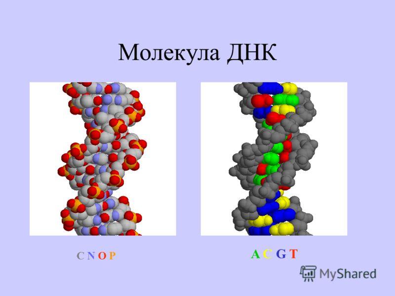 Молекула ДНК A C G TA C G T C N O PC N O P