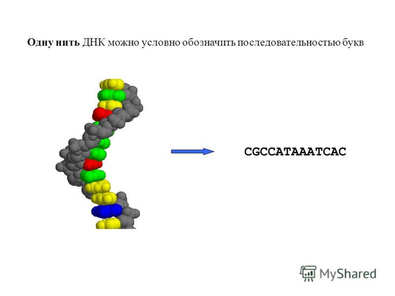 Одну нить ДНК можно условно обозначить последовательностью букв CGCCATAAATCAC