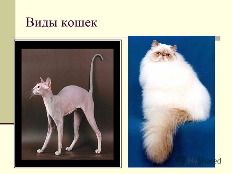 Виды кошек В настоящее время в мире насчитывается около 600 млн домашних кошек, выведено около 200 пород, от длинношёрстных (персидская кошка) до лишённых шерсти (сфинксы). породперсидская кошкасфинксы