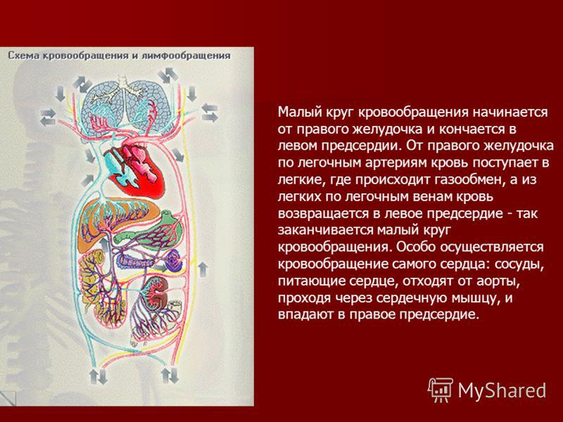 Малый круг кровообращения начинается от правого желудочка и кончается в левом предсердии. От правого желудочка по легочным артериям кровь поступает в легкие, где происходит газообмен, а из легких по легочным венам кровь возвращается в левое предсерди
