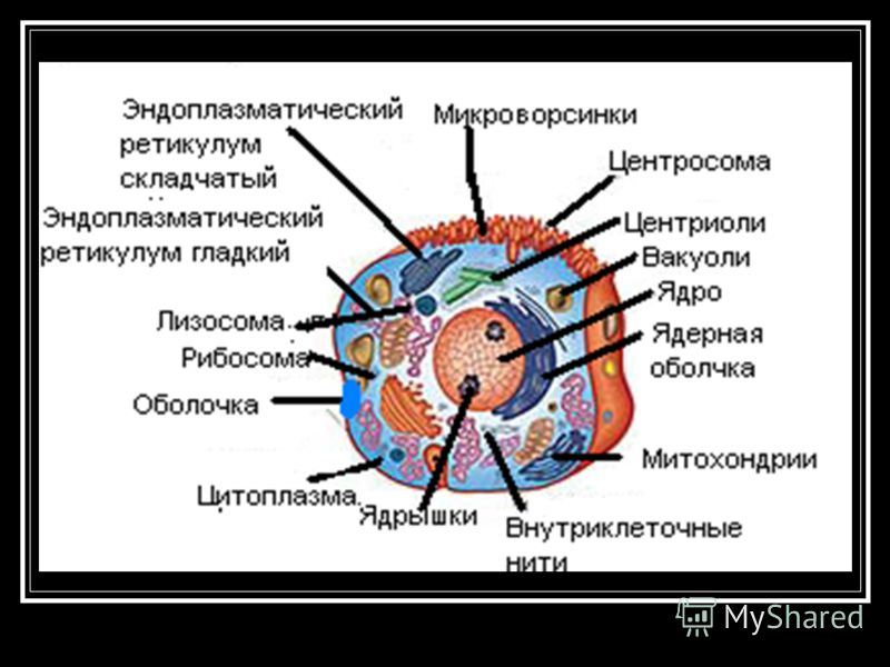 КЛЕТКА КЛЕТКА, элементарная живая система, основа строения и жизнедеятельности всех животных и растений. Клетки существуют как самостоятельные организмы (напр., простейшие, бактерии). Размеры клетки варьируют в пределах от 0,1-0,25 мкм (некоторые бак