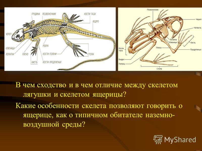 между скелетом лягушки и
