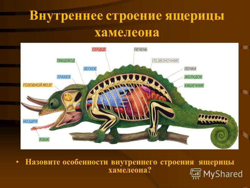 Внутреннее строение ящерицы хамелеона Назовите особенности внутреннего строения ящерицы хамелеона?