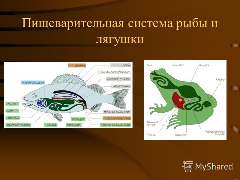 Пищеварительная система рыбы и лягушки