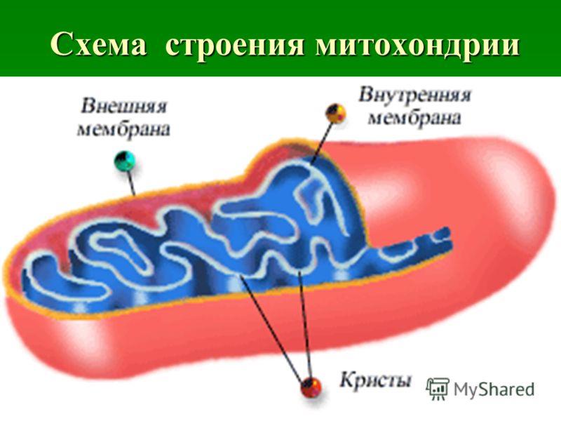 9 Схема строения митохондрии