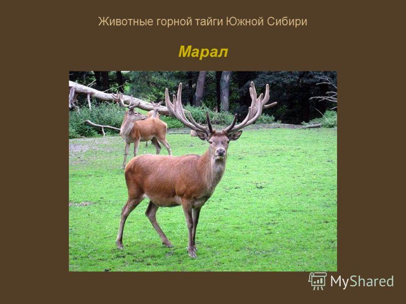 Животные горной тайги Южной Сибири Марал