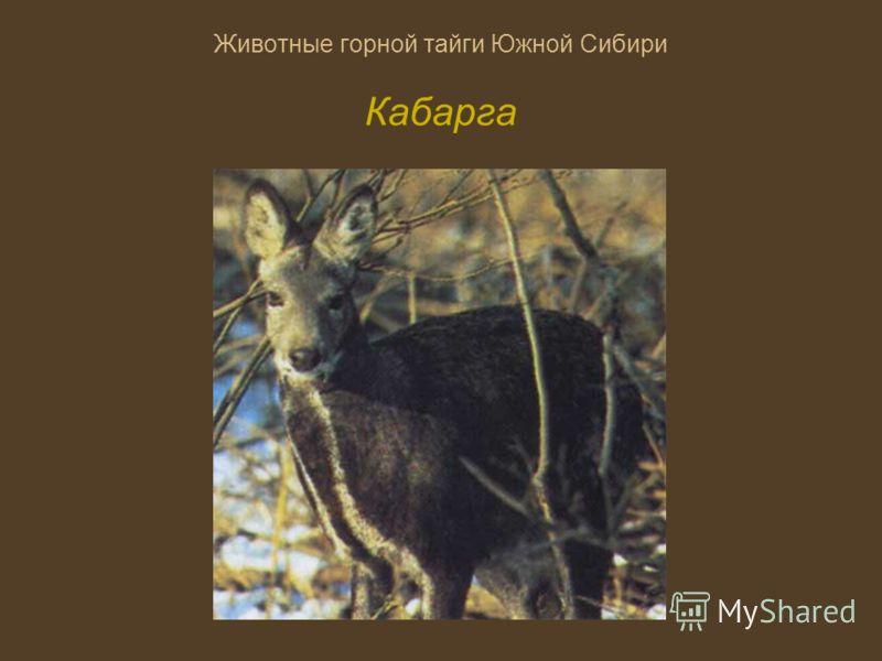 Животные горной тайги Южной Сибири Кабарга