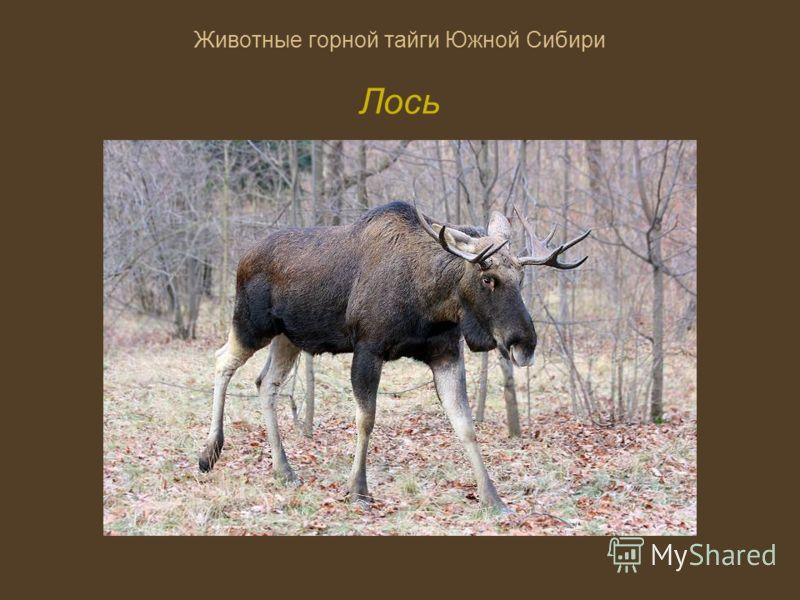 Животные горной тайги Южной Сибири Лось