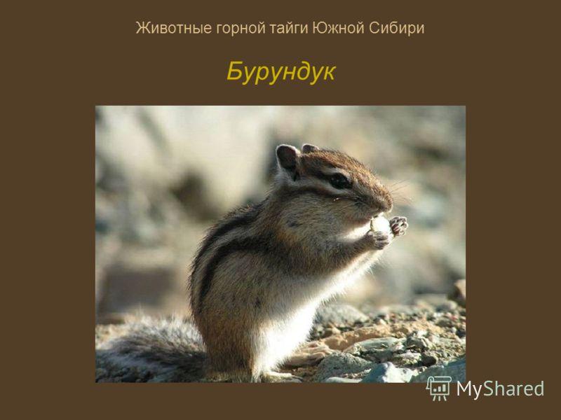Животные горной тайги Южной Сибири Бурундук