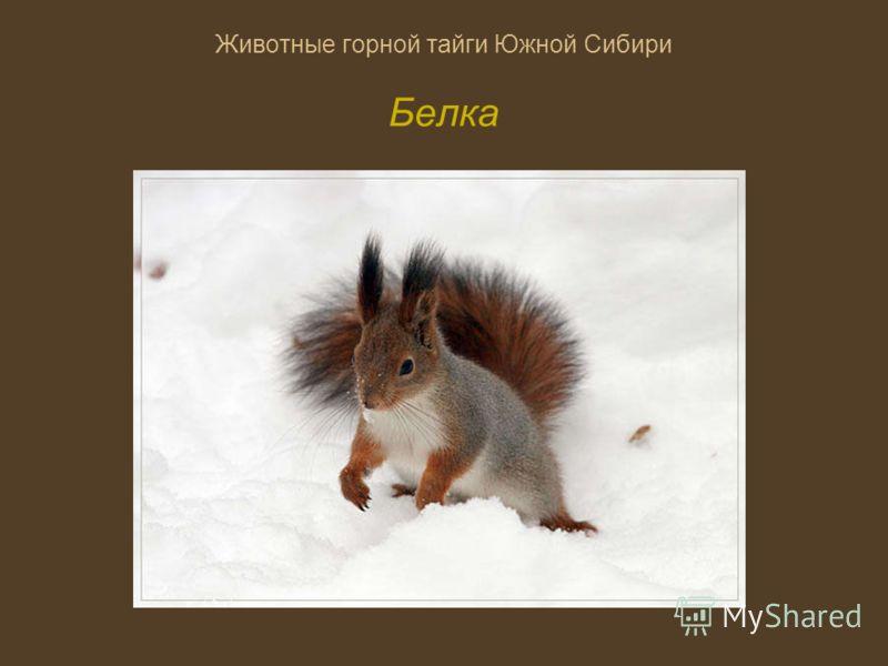 Животные горной тайги Южной Сибири Белка
