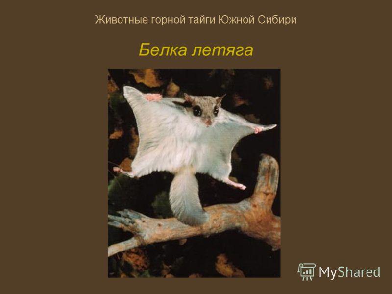 Животные горной тайги Южной Сибири Белка летяга