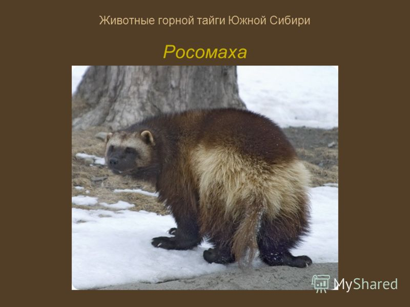 Животные горной тайги Южной Сибири Росомаха
