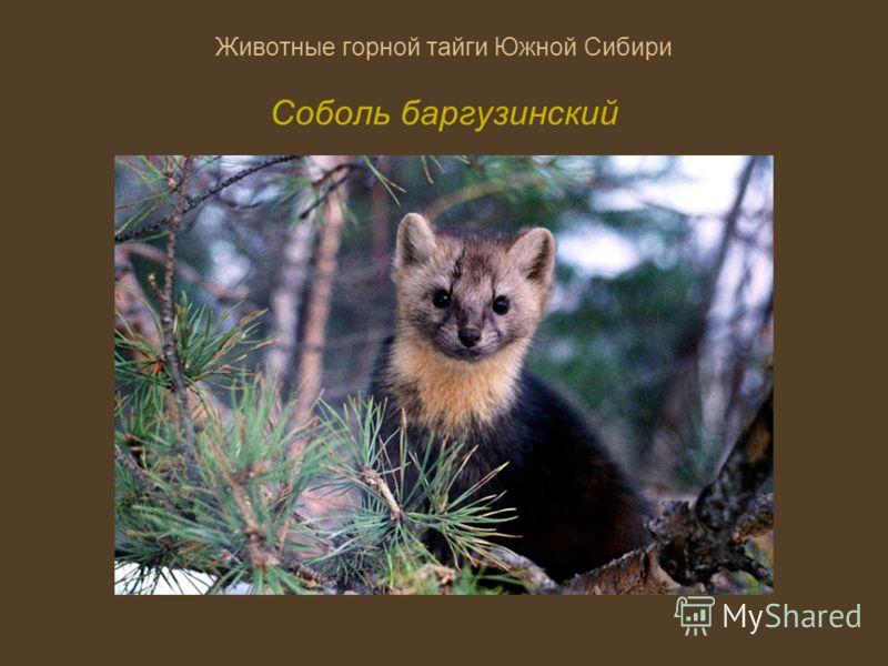 Животные горной тайги Южной Сибири Соболь баргузинский