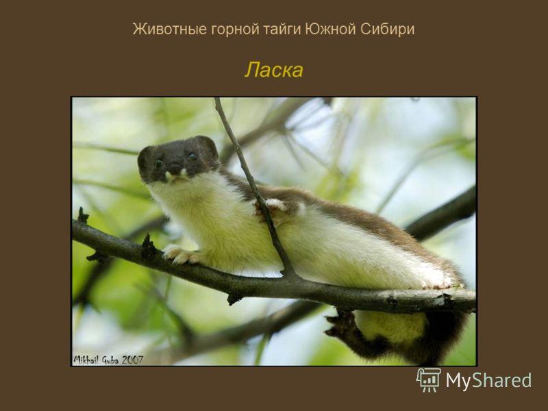 Животные горной тайги Южной Сибири Ласка