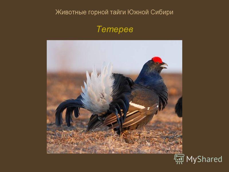 Животные горной тайги Южной Сибири Тетерев